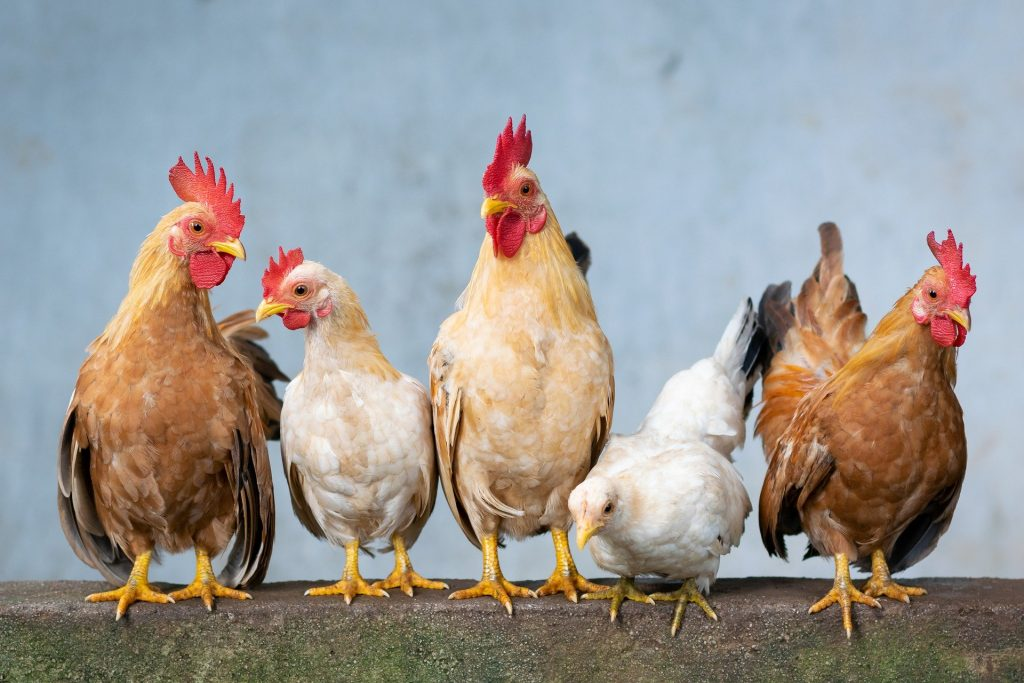 Picture of several chickens of various colours